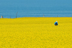 Cole flowers & seas. Yellow cole flowers seas by the blue seas of Jiangsu Province, China Royalty Free Stock Image