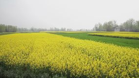 Cole flowers are taken in Hanzhong, China stock video footage