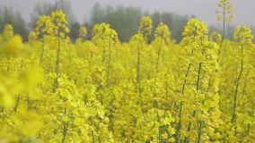 Cole flowers are taken in Hanzhong, China stock footage