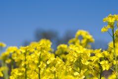 cole kwiaty Zdjęcia Royalty Free