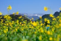 Cole kwiaty Zdjęcia Stock