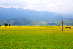 Cole kwiaty Qinghai Menyuan bukolika fotografia stock