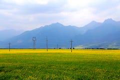 Cole kwiaty Qinghai Menyuan bukolika obraz stock
