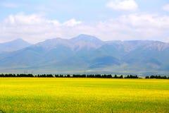 Cole kwiaty Qinghai Menyuan bukolika zdjęcia stock