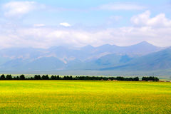 Cole kwiaty Qinghai Menyuan bukolika obraz royalty free