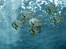 École tropicale de poissons Photo stock