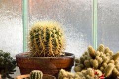 Colección casera del cactus Imagenes de archivo