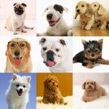 Colección criada en línea pura del perro Foto de archivo