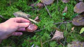 Colección de álamo temblón comestible de las setas en el bosque en el musgo almacen de metraje de vídeo
