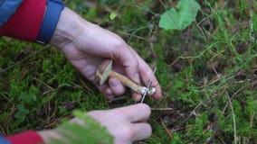 Colección de álamo temblón comestible de las setas en el bosque en el musgo almacen de video