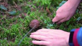 Colección de álamo temblón comestible de las setas en el bosque en el musgo metrajes