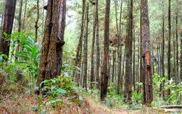Colección de árboles de pino Imagen de archivo libre de regalías
