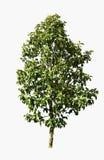 Colección de árboles verdes hermosos aislados Fotografía de archivo libre de regalías
