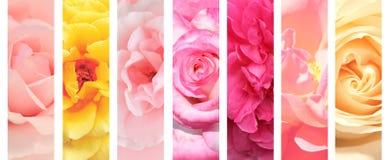 Colección de banderas con la rosa de colores rosados y amarillos Foto de archivo