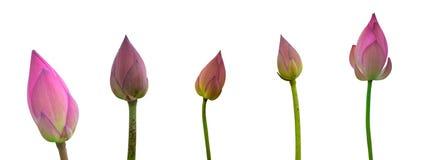 Colección de brote rosado aislado del loto en un fondo blanco imagen de archivo libre de regalías