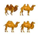 Colección de camellos bactrianos ilustración del vector