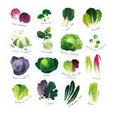Colección de diversas clases de col y de verdes frondosos comunes Fotografía de archivo libre de regalías