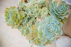 Colección de diversas plantas suculentas multicoloras Jardín suculento en un pote de cerámica Echeveria floreciente ornamental imagenes de archivo
