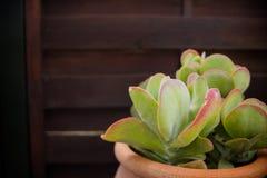 Colección de diversas plantas suculentas multicoloras Jardín suculento en un pote de cerámica Echeveria floreciente ornamental foto de archivo libre de regalías