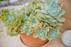 Colección de diversas plantas suculentas multicoloras Jardín suculento en un pote de cerámica Echeveria floreciente ornamental foto de archivo
