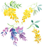 Colección de elementos florales pintados de la acuarela Flores de la glicinia con la apertura del fondo verde Imágenes de archivo libres de regalías