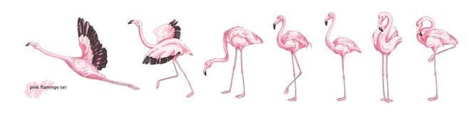 Colección de flamenco rosado en diversas actitudes aislado en el fondo blanco Sistema de pájaro exótico magnífico o de aviar trop ilustración del vector