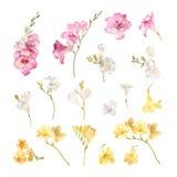 Colección de fresias pintadas a mano de las flores de la acuarela libre illustration