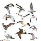 Colección de gaviotas aisladas Imágenes de archivo libres de regalías