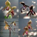 Colección de híbrido del Paphiopedilum de la orquídea imágenes de archivo libres de regalías