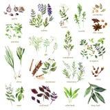 Colección de hierbas dibujadas mano de la acuarela en el fondo blanco