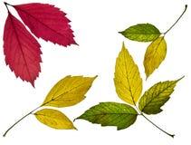 colección de hojas de otoño amarillas, rojas y verdes coloridas hermosas aisladas en el fondo blanco imagen de archivo libre de regalías