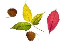 colección de hojas de otoño amarillas, rojas y verdes coloridas hermosas aisladas en el fondo blanco imagen de archivo