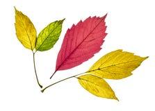 colección de hojas de otoño amarillas, rojas y verdes coloridas hermosas aisladas en el fondo blanco fotografía de archivo