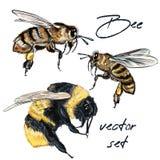 Colección de la abeja realista del vector, abejorro en estilo exhausto de la mano realista de la acuarela Estilo realista del vin stock de ilustración