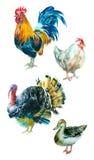 Colección de la acuarela de aves de corral Fotos de archivo libres de regalías
