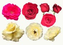 Colección de la foto del primer de rosas aisladas en el fondo blanco Imágenes de archivo libres de regalías