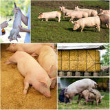 Colección de la granja de cerdo fotografía de archivo libre de regalías