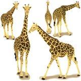 Colección de la jirafa Imágenes de archivo libres de regalías