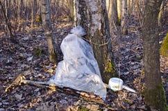Colección de la savia del árbol de abedul en una bolsa de plástico Fotos de archivo