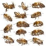 Colección de las abejas Foto de archivo libre de regalías