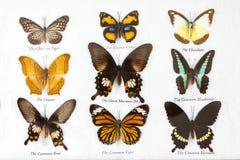 Colección de las mariposas Foto de archivo libre de regalías