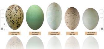Colección de los huevos del pájaro Fotos de archivo