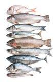 Colección de los pescados de mar Imágenes de archivo libres de regalías