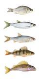 Colección de los pescados del río aislada Imagen de archivo