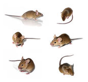 Colección de los ratones Fotografía de archivo libre de regalías