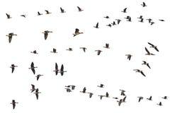 Colección de madejas aisladas de los gansos que vuelan en el fondo blanco Foto de archivo