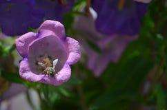 Colección de néctar por una abeja en una flor Imágenes de archivo libres de regalías
