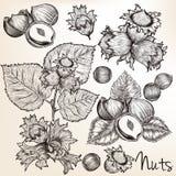 Colección de nueces dibujadas alta mano del vector detallada en s grabado libre illustration