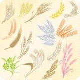 Colección de oídos y de gavillas del trigo stock de ilustración