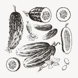 Colección de pepinos dibujados tinta Fotos de archivo